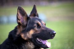 German Shepherd Dogs Portrait close up Stock Photos