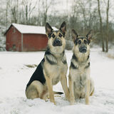 German Shepherd dogs in the snow by red barn. A sibling couple of dogs enjoy the winter snow in the country by an old red barn Royalty Free Stock Photos
