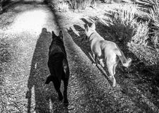 German Shepherd Dogs on Trail. Black and white German Shepherd Dogs on trail Royalty Free Stock Images