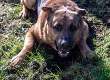 German Shepherd and Dogue de Bordeaux crossbreed dog having fun in the garden