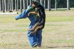 German Shepherd doing bite work for police training Royalty Free Stock Image