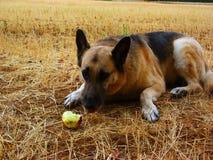 German shepherd Eating an apple. German sheperd dog eating an apple, lying at the ground (rural place Royalty Free Stock Photo