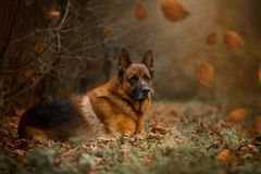 German Shepherd Exterior Portrait Royalty Free Stock Photo