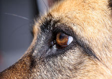 German Shepherd Eye. Close up of a German Shepherd dog's eye from the side Stock Photo