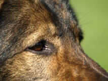 German shepherd eyes. Stock Images