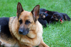 GERMAN SHEPHERD FAMILY. Dog protect her puppies Royalty Free Stock Images