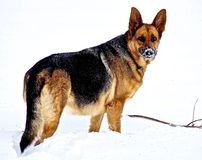 German Shepherd. Female German Shepherd playing in snow on the Canadian winter prairies Royalty Free Stock Image