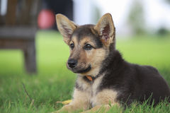 German shepherd female puppy Stock Photo