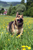 German Shepherd in Field Stock Image