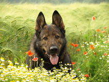 German shepherd in flowers. Stock Image
