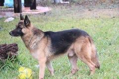 German shepherd focusing. For games Stock Photos