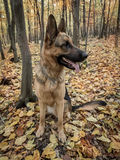 German shepherd in the forest Royalty Free Stock Image