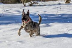 German Shepherd on fresh snow Stock Photo