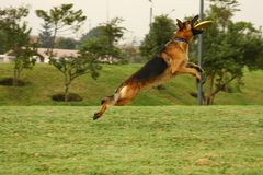 German shepherd and frisbee Royalty Free Stock Photography