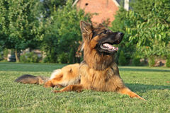 German Shepherd. In a garden Royalty Free Stock Photos
