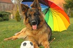German Shepherd. In garden with ball stock image