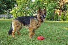 German Shepherd. In garden with ball stock images