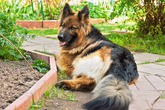 German shepherd in a garden Royalty Free Stock Photography