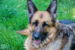 German Shepherd. Garden Summer outdoor Stock Photo