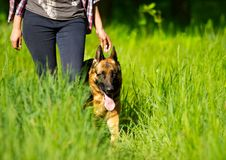 German Shepherd goes. To the grass Royalty Free Stock Images