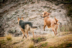 German shepherd and Golden Retriever playing Stock Photo