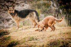 German shepherd and Golden Retriever playing Royalty Free Stock Photography