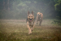 German shepherd and Golden Retriever playing in the fog Royalty Free Stock Images