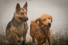 German shepherd and Golden Retriever playing in the fog.  Royalty Free Stock Photos
