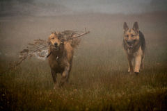 German shepherd and Golden Retriever playing in the fog Stock Photo