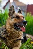 German shepherd on grass Stock Photos