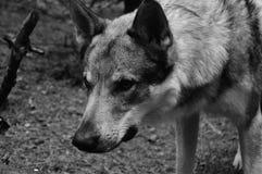 German Shepherd Grayscale Photo Stock Image