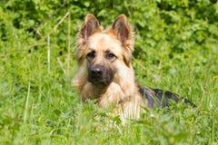 German shepherd in the green. German sheprherd in the grass Stock Images