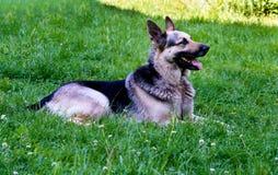 German shepherd grin. German shepherd is on the green grass stock photos