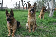 German Shepherd lll royalty free stock images