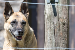 German shepherd guard dog behind fence. A german shepherd dog looking through a fence Stock Photo