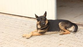 German shepherd guard dog stock footage