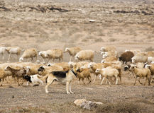 German shepherd guarding herd of sheep Royalty Free Stock Photos