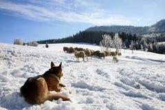 Dog and herd of sheep. German Shepherd guarding herd of sheep feeding Skudde. Winter on the farm Stock Images