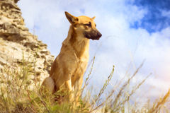 German shepherd guarding the ruins. Guard dog - German shepherd guarding the ruins of the fortress of Koporye, Russia. Photo stylized watercolor illustration Royalty Free Stock Image