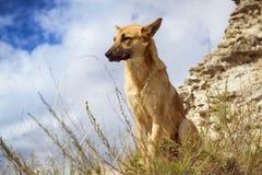 German shepherd guarding the ruins. KOPORYE, RUSSIA - AUGUST 19, 2014: Guard dog - German shepherd guarding the ruins of the fortress of Koporye, Russia Stock Photo