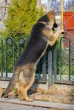 German shepherd guarding the territory royalty free stock images