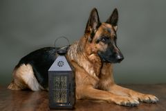 German shepherd guarding the yard. The dog greets guests. stock photography