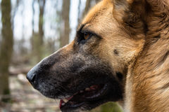 German shepherd head with beautiful yellow fur in winter forest Royalty Free Stock Photography