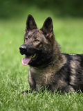 German shepherd head. Stock Image