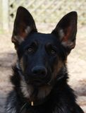 German Shepherd Head shot Stock Images