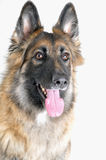 German Shepherd Headshot Royalty Free Stock Photography