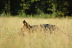 German shepherd in high grass stock photography