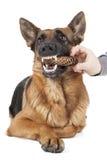 German Shepherd holding dumbbell Stock Photography