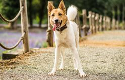 Funny and active mixed breed dog playing outdoor. German shepherd and huski mixed breed funny dog playing outside in the park Royalty Free Stock Photos