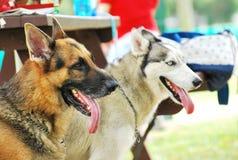 German Shepherd and Husky stock photos